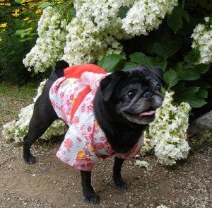 画像5: 【犬服】浴衣型紙(小型犬用)