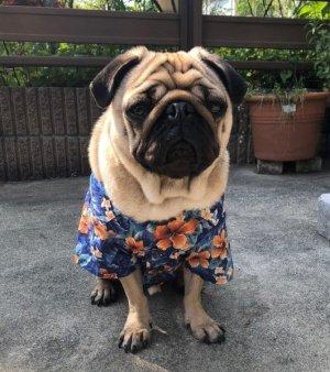 画像2: 犬服 アロハシャツ型紙 小型犬〜中型犬用